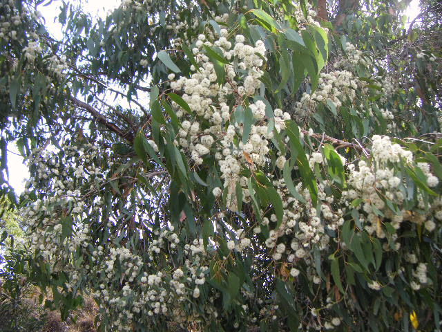 Gum in flower