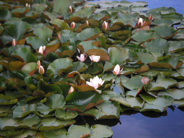 Waterlilies closeup