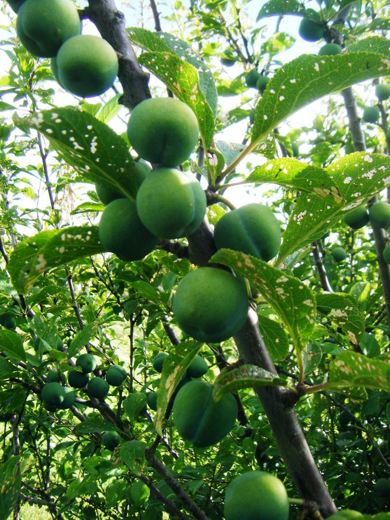 Green Gage Plums