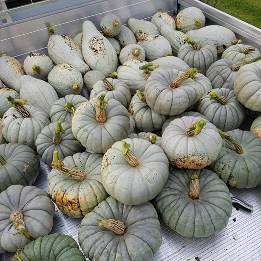 Pumpkins in the ute