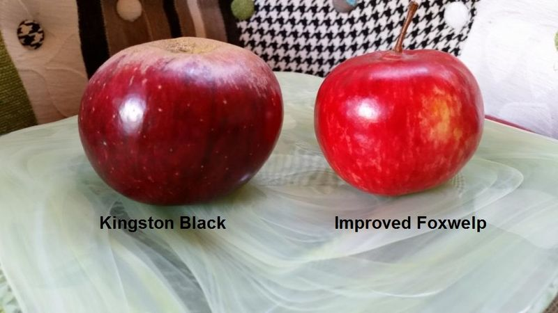 Kingston Black & Improved Foxwelp