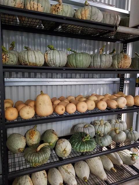 Pumpkins on rack