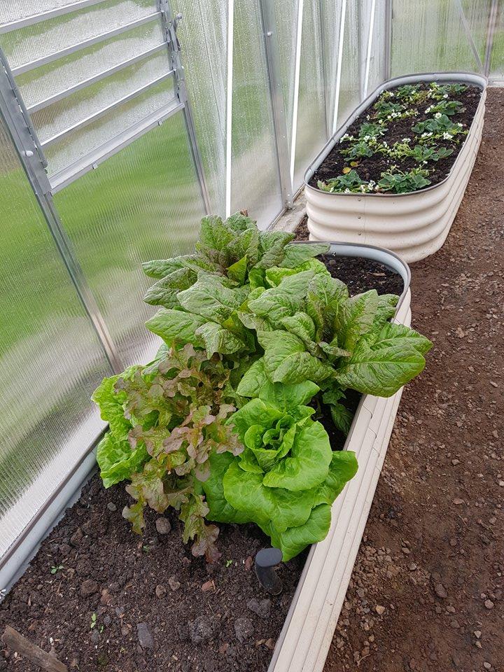 Lettuce 3