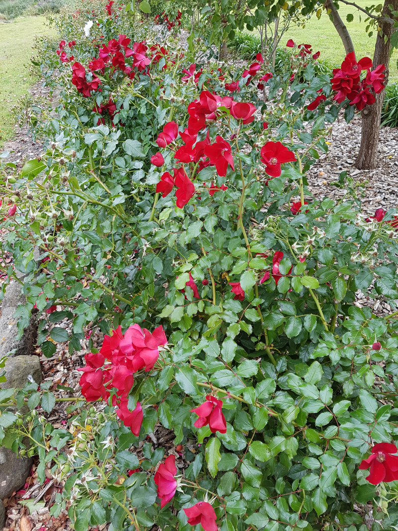 Red apache roses