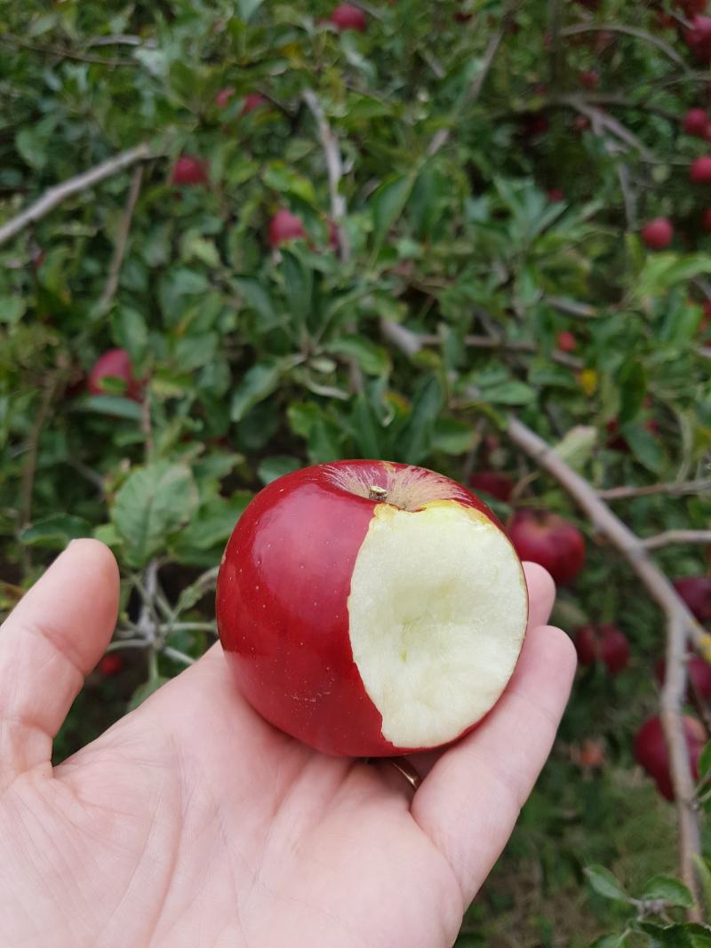 Red jonathon apple