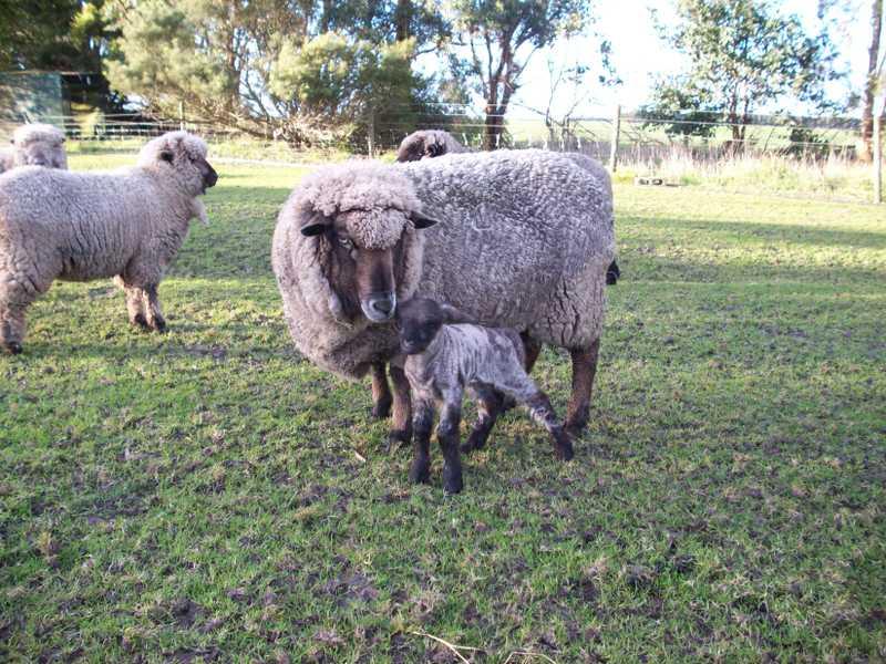 New_lamb